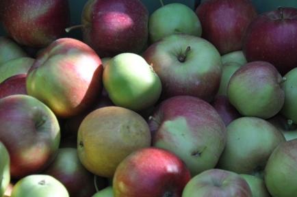 Action annuelle de notre club: récolte de pommes